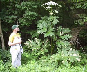 Giant Hogweed photo