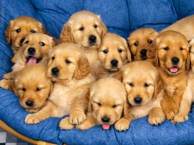 Photo of golden retriever puppies