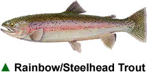 Rainbow/Steelhead Trout