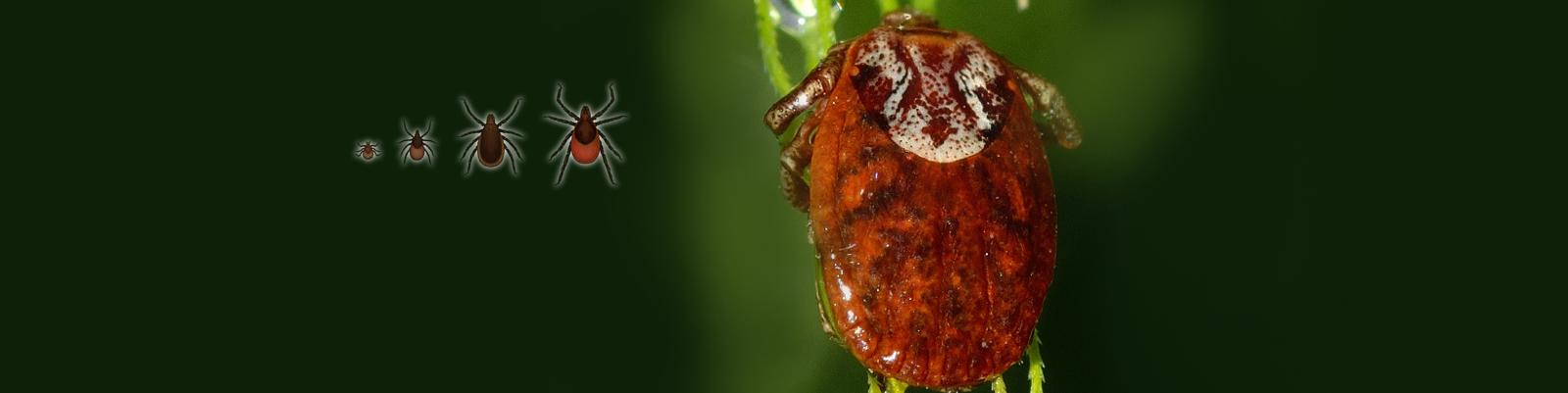 slide:Ticks & Lyme Disease